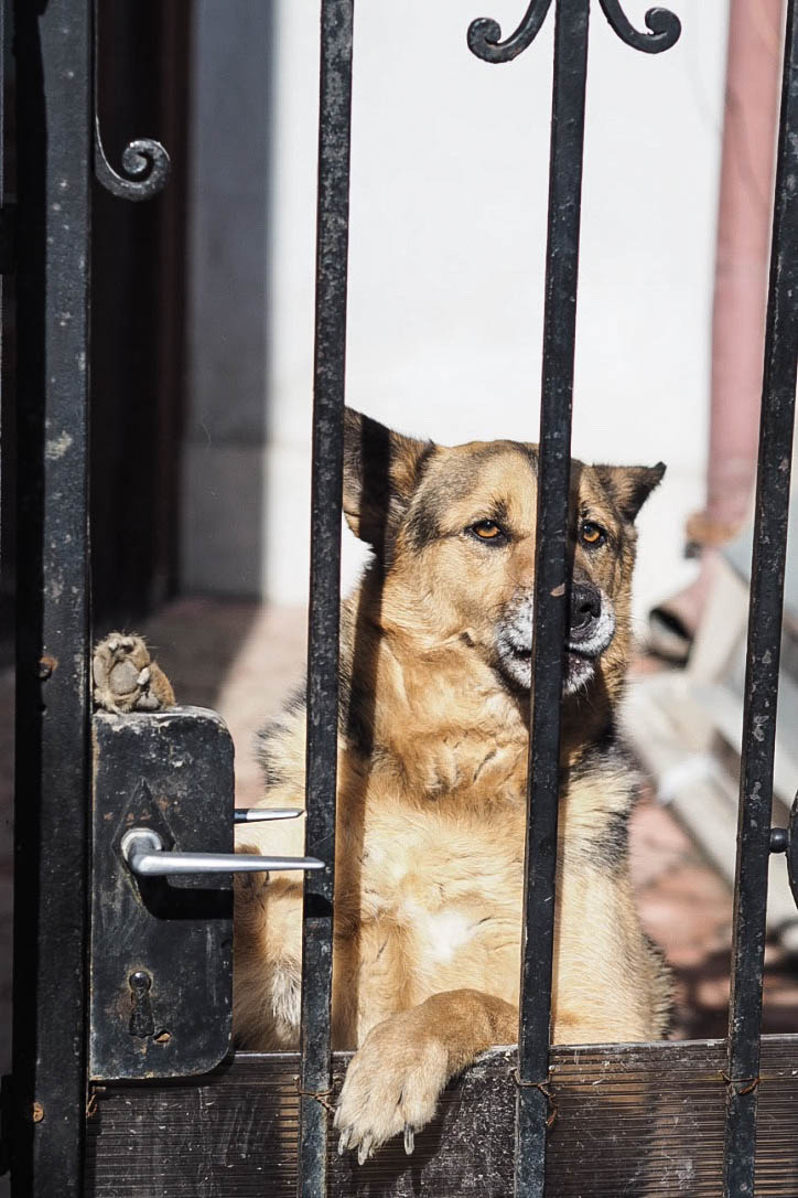 Dog looking through gates