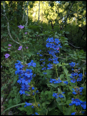 Blue Penstemons on Cascade Trail