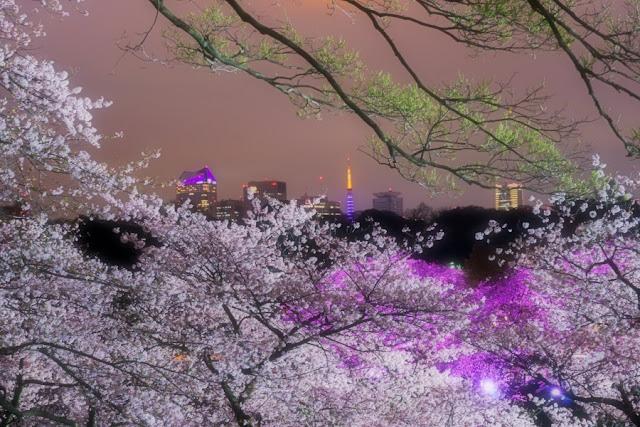 北の丸公園(千代田区)の夜桜と東京タワー