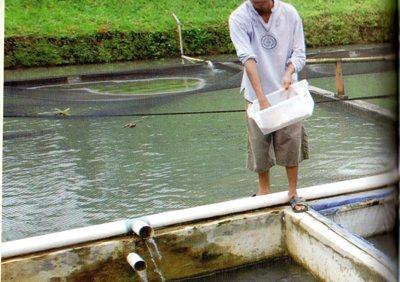 Cara Pemberian Pakan Yang Baik Untuk Ikan Bawal Poultryshop Indonesia
