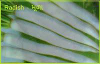 radish kitchen garden seeds