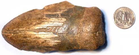 O dente do Megalodonte