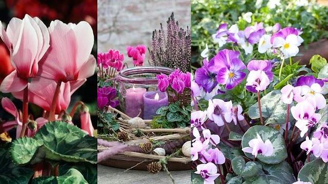 Το λουλούδι του μήνα: ΣΕΠΤΕΜΒΡΙΟΣ
