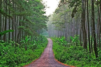 Karanggedang Pine Forest