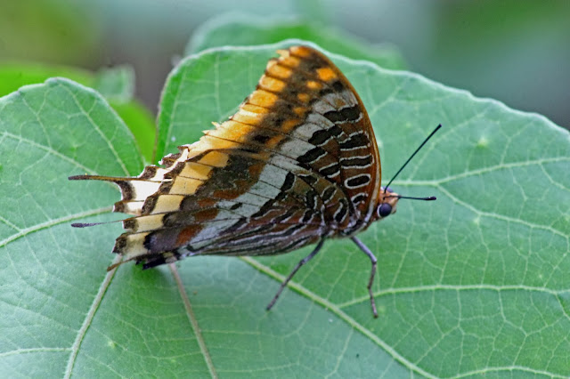 Two tailed Pasha butterfly
