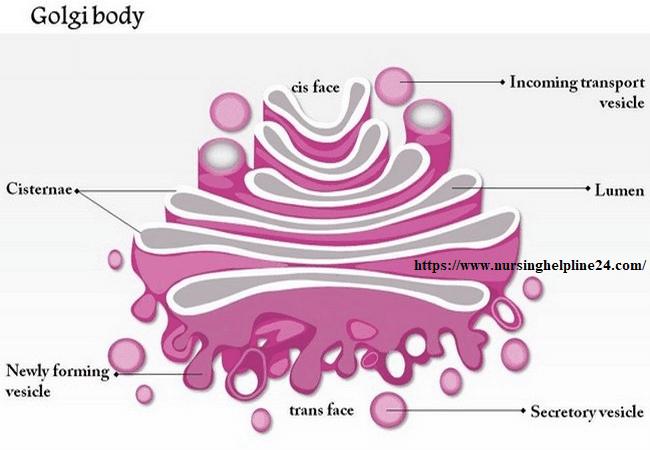 Golgi apparatus  or Golgi body