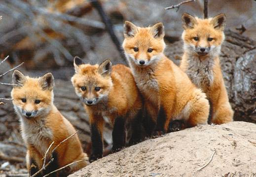 Red Fox Stock Photos and Pictures