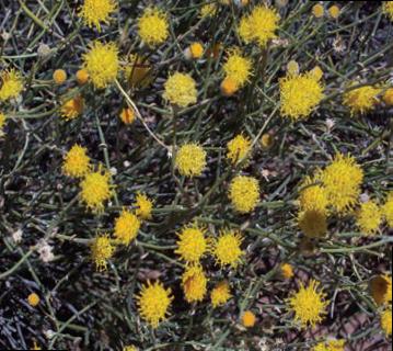 Aylacophora deserticota