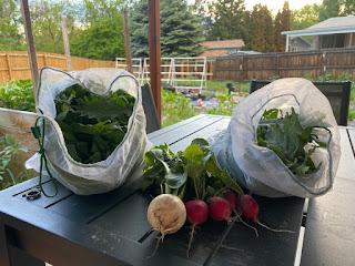Kale, Radish, and Turnip Harvest
