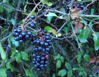 Aligustre o Alheña (Ligustrum vulgare)