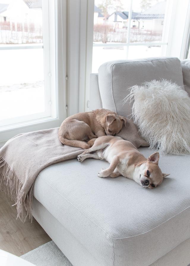 Villa H, sisustus, koti, olohuone, chihuahua, koirat