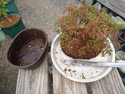 ハゼノキ 櫨の木 根鉢