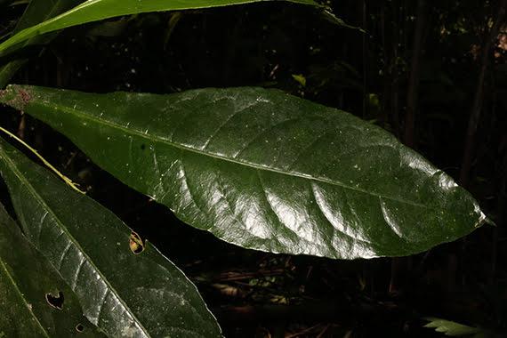 Trigonostemon heteranthus