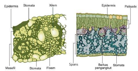 Gambar 14. Struktur anatomi daun monokotil dan dikotil www.brainly.co.id