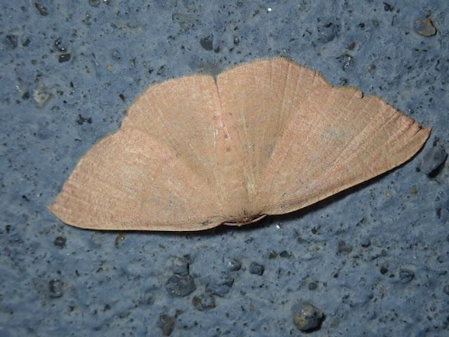 Cyclophora ruficiliaria