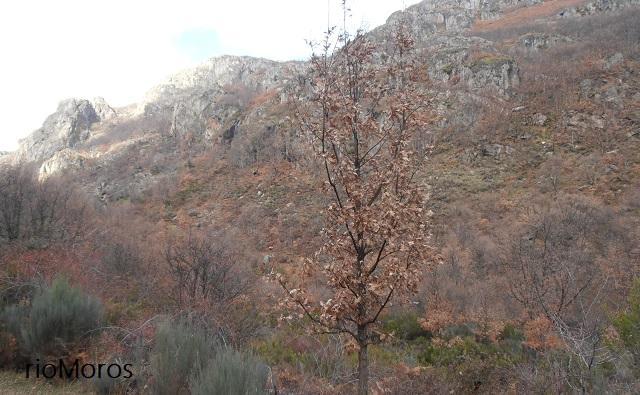 Marcescente Quercus pyrenaica (Rebollo, Melojo)