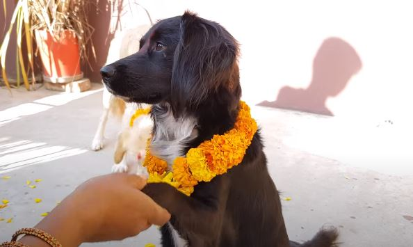 Dogs are worshiped in Nepal on the second day of Deepawali