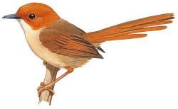 Orange-crowned Fairy-wren
