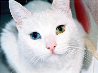 ¿Por qué algunos gatos tienen ojos de diferentes colores?