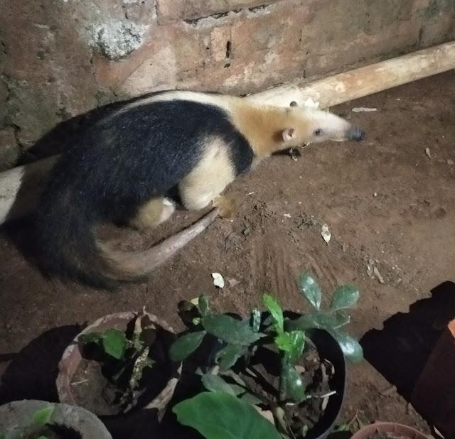Tamanduá-mirim é resgatado após entrar em residência no Jardim Jequitibás  -  Adamantina Notìcias