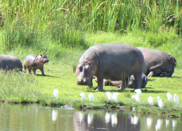 ippopotami con cuccioli cratere ngorongoro