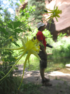 columbine flowers, sedona
