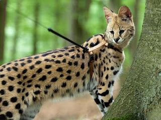 harga Kucing Savannah f1