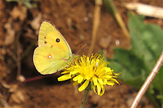 Colias fieldii, Dark Clouded Yellow