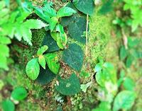Daun Kirapet di dalam hutan