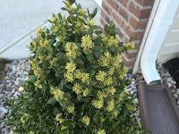 blooming english boxwood