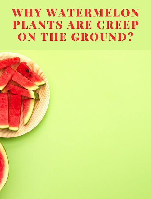 Why watermelon plants are creep on the ground