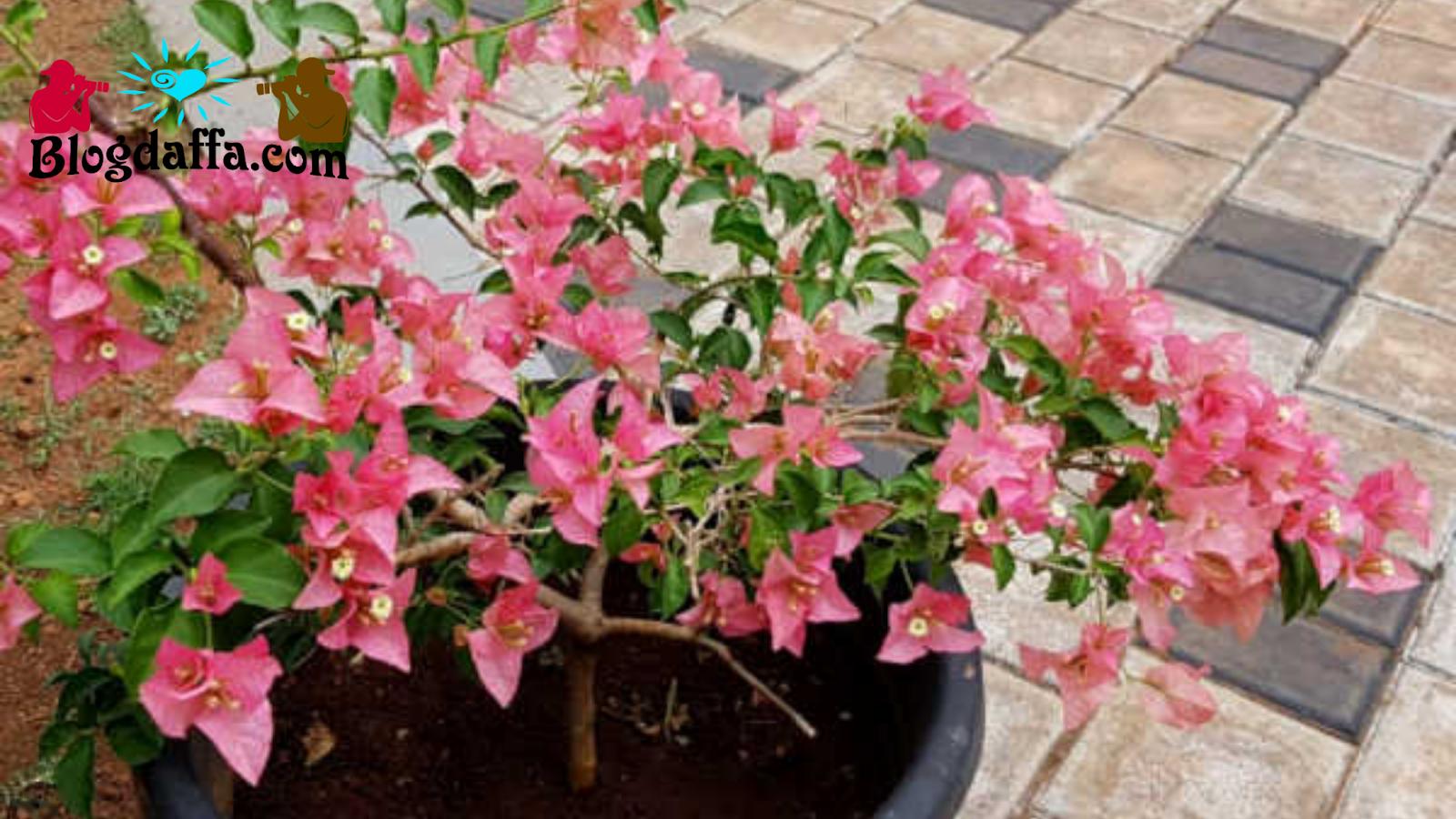 Pencegahan Hama pada Bunga Kertas
