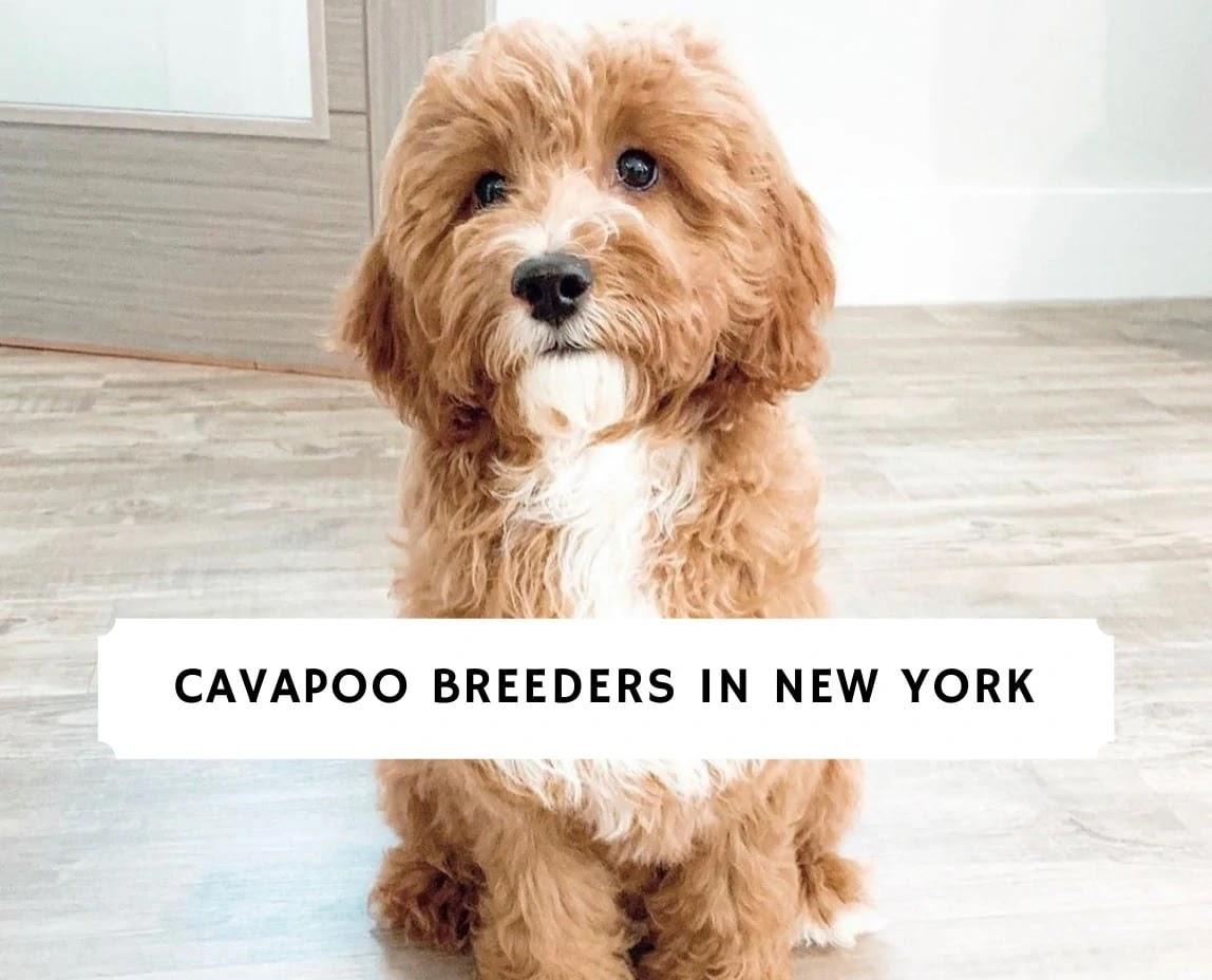 Cavapoo Breeders in New York
