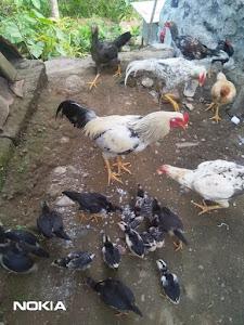 Sisa Makanan Dikasih Ayam