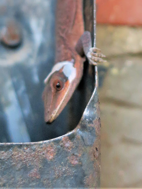 Lizard in a mailbox, Birmingham, Alabama. November 2020.