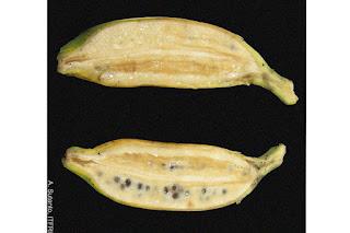 pisang kluthuk, pisang batu, pisang