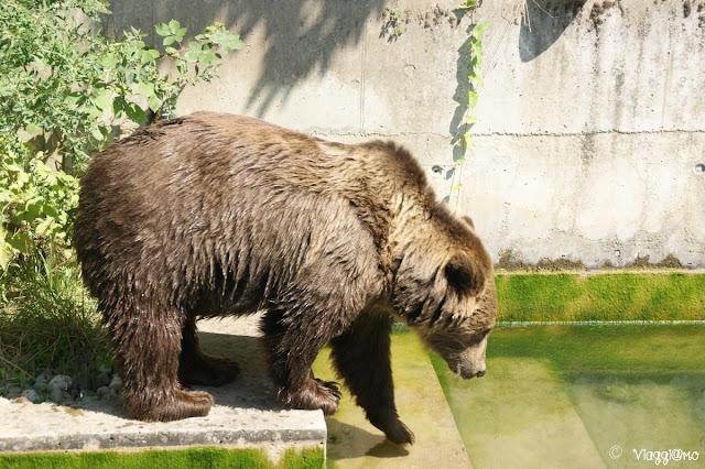 Orso ospitato nella fossa degli Orsi