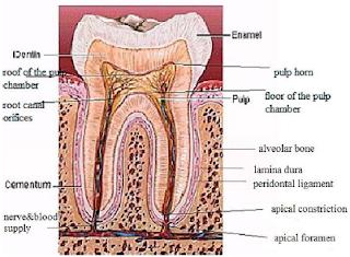 Anatomi Jaringan Periapikal