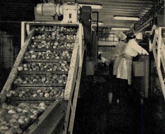 Alma a futószalagon - vendégségben a nagykőrösi konzervgyárban