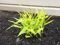 Japanese Forest Grass - Hakonechloa macra 'All Gold'