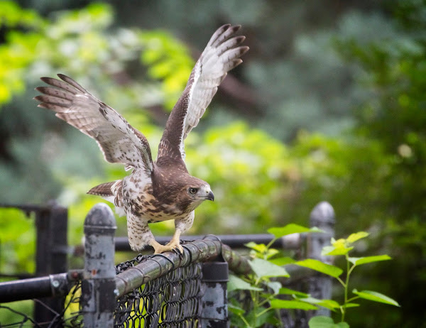 Tompkins Square red-tail fledgling 19