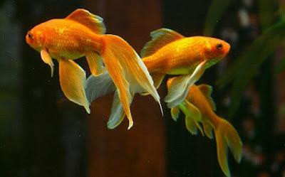 Ikan komet,Ikan hias air tawar