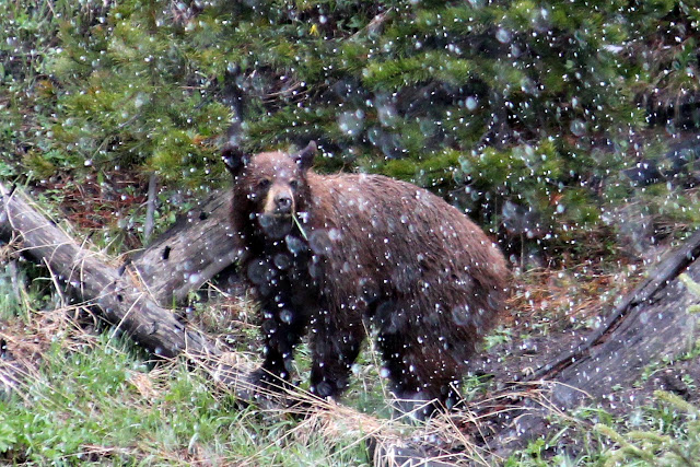 Yellowstone, snow, bear, http://bec4-beyondthepicketfence.blogspot.com/2016/05/work-hard-play-hard.html
