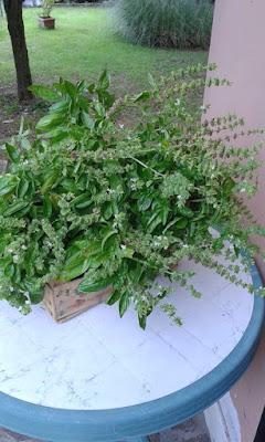Raccogliere nell'orto erbe da seccare: basilico