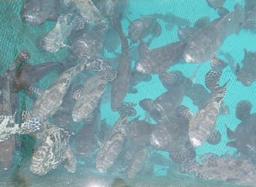 Budidaya Ikan Kerapu