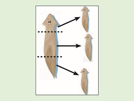 perkembangbiakan planaria, bagian tubuh akan membentuk yang terpotong