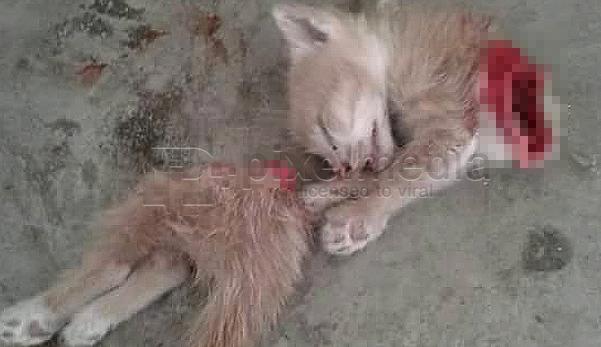 anak kucing dibunuh kejam, viral anak kucing, anak kucing terputus dua