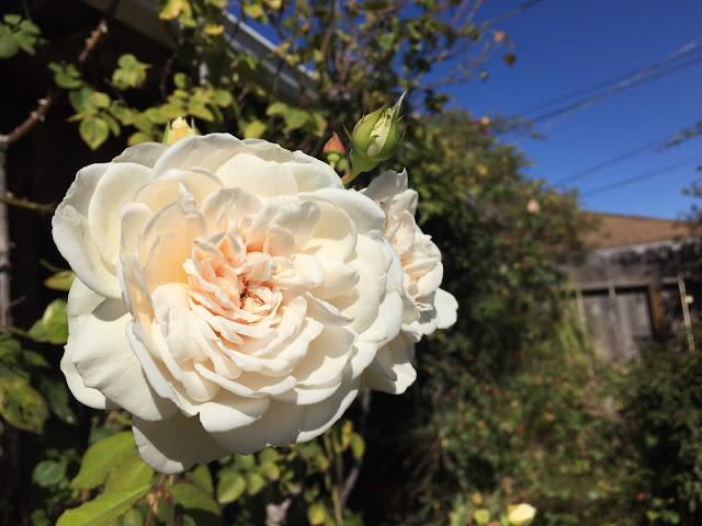 Sombreuil, fragrant_rose