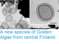 https://sciencythoughts.blogspot.com/2014/03/a-new-species-of-golden-algae-from.html