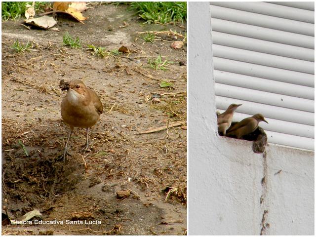 Horneros haciendo su nido de barro - Chacra Educativa Santa Lucía